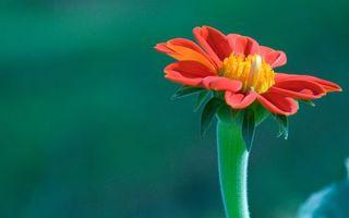 Фото бесплатно цветок, красный, стебель