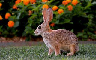 Заставки заяц, серый, зверек, уши, шерсть, окрас, глаза, лапы, трава, поле, животные