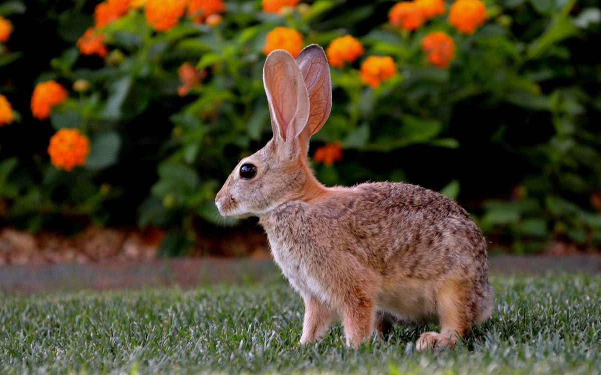 Фото бесплатно заяц, серый, зверек, уши, шерсть, окрас, глаза, лапы, трава, поле, животные, животные
