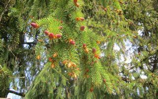 Бесплатные фото дерево,хвойное,иголки,шишки,розовые,молодые,природа