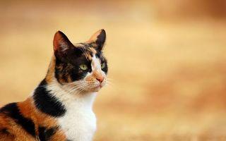 Бесплатные фото кот,трехцветный,шерсть,взгляд,нос,усы,смотрит