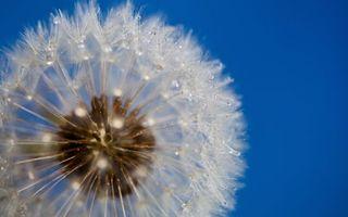 Фото бесплатно одуванчик, семена, капли, роса, вода, фон, синий, цветы