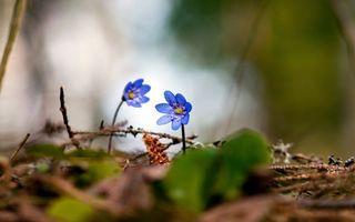 Фото бесплатно подснежники, лепестки, весна
