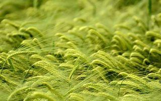 Фото бесплатно рожь, овес, пшеница, колоски, колос, жито, поле, урожай, лето, зелень, природа