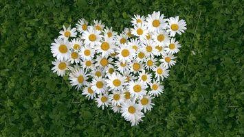 Бесплатные фото ромашки,белые,лепестки,сердце,трава,клевер,поле