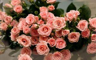 Бесплатные фото розы,розовые,лепестки,листья,стебли,зеленые,цветы