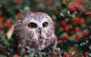 Заставки сова,клюв,глаза,перья,ягоды,листья,дерево