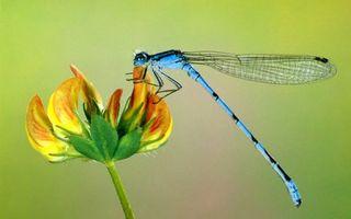 Бесплатные фото стрекоза,синяя,крылья,лапы,цветок,лепестки,насекомые
