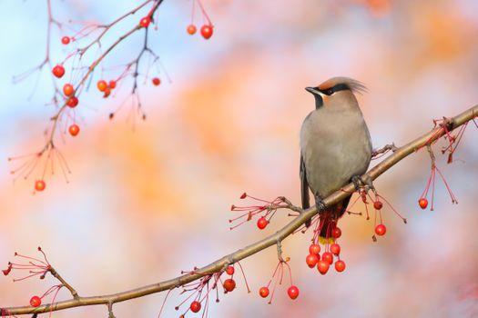 Фото бесплатно Свиристель, птицы, птица на ветке