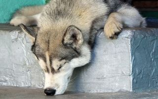 Бесплатные фото волк,сон,спать,лапы,глаза,нос,усы