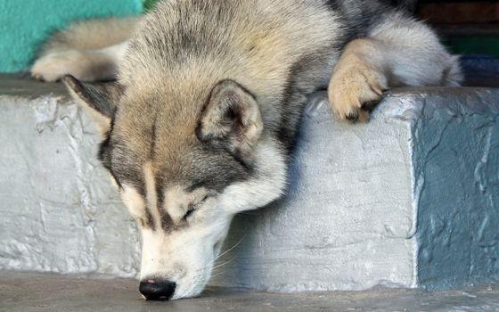 Фото бесплатно волк, сон, спать