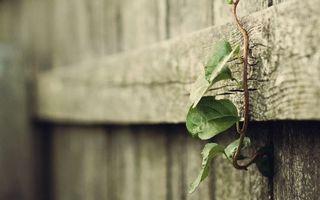 Заставки забор,деревянный,доски,дерево,растение,цветок,листья. стебель