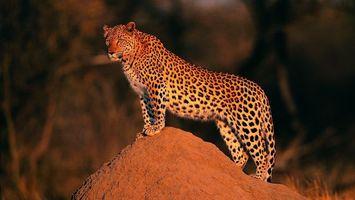 Фото бесплатно леопард, закат солнца, песок