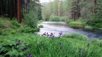 Заставки речка,лес,течение,деревья,сосны,трава,лето