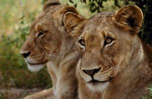 Фото бесплатно львицы, две, отдыхают