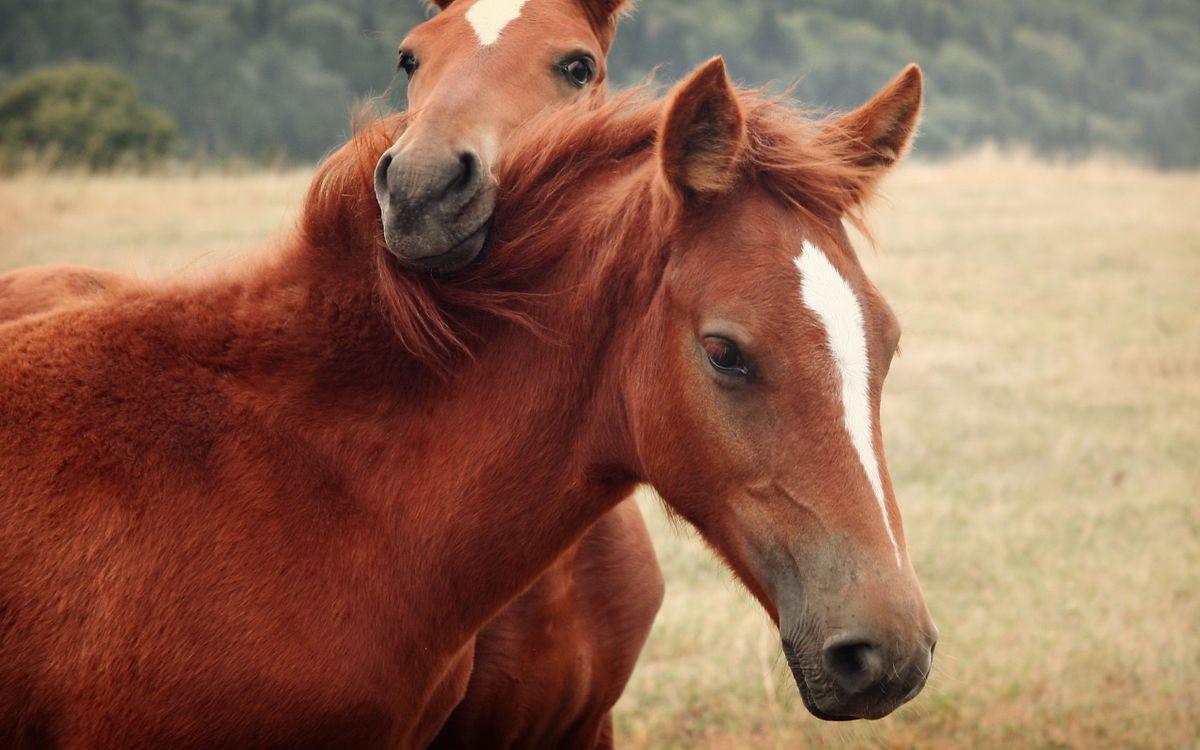 Free photo two horses, a horse, mane - to desktop