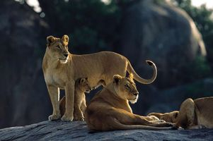 Бесплатные фото львицы,львенок,шерсть,дикие,лежат,камень,земля