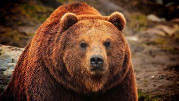 Заставки медведь, бурый, морда