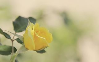 Заставки роза, желтая, лепестки, листья, стебель, шипы, клумба, цветы