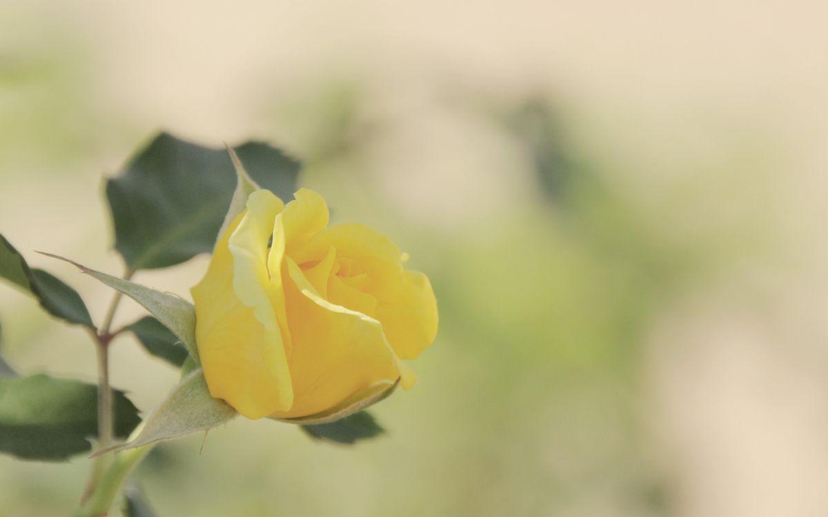 Фото бесплатно роза, желтая, лепестки, листья, стебель, шипы, клумба, цветы, цветы