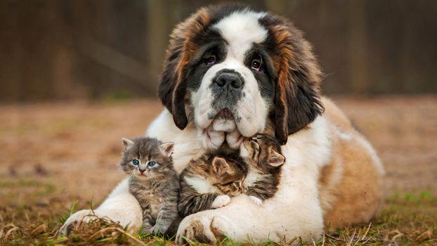 Photo free dog, St Bernard, nanny