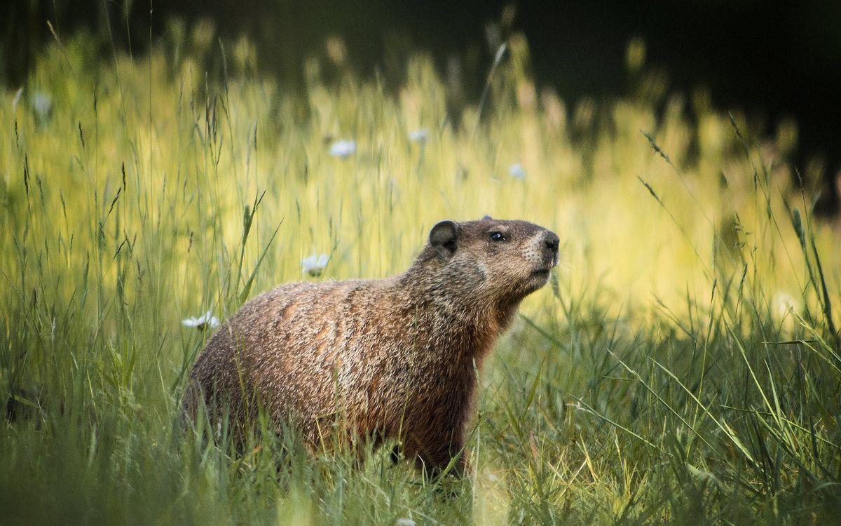 Фото бесплатно суслик, морда, глаза, шерсть, уши, трава, животные, животные - скачать на рабочий стол