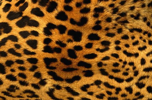 Photo free fur leopard, spots, black