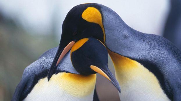 Фото бесплатно два, пингвина, обнимаются