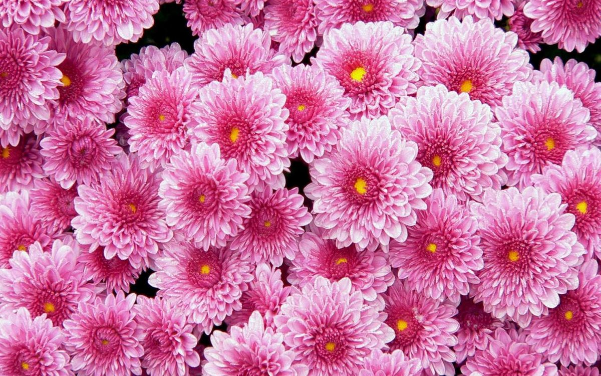 Фото бесплатно хризантемы, много, розовые - на рабочий стол