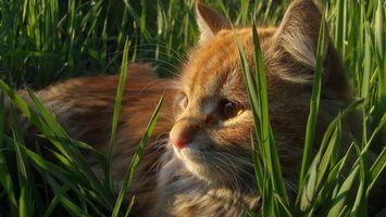 Фото бесплатно кот, рыжий, морда, уши, глаза, шерсть, трава, зеленая, кошки