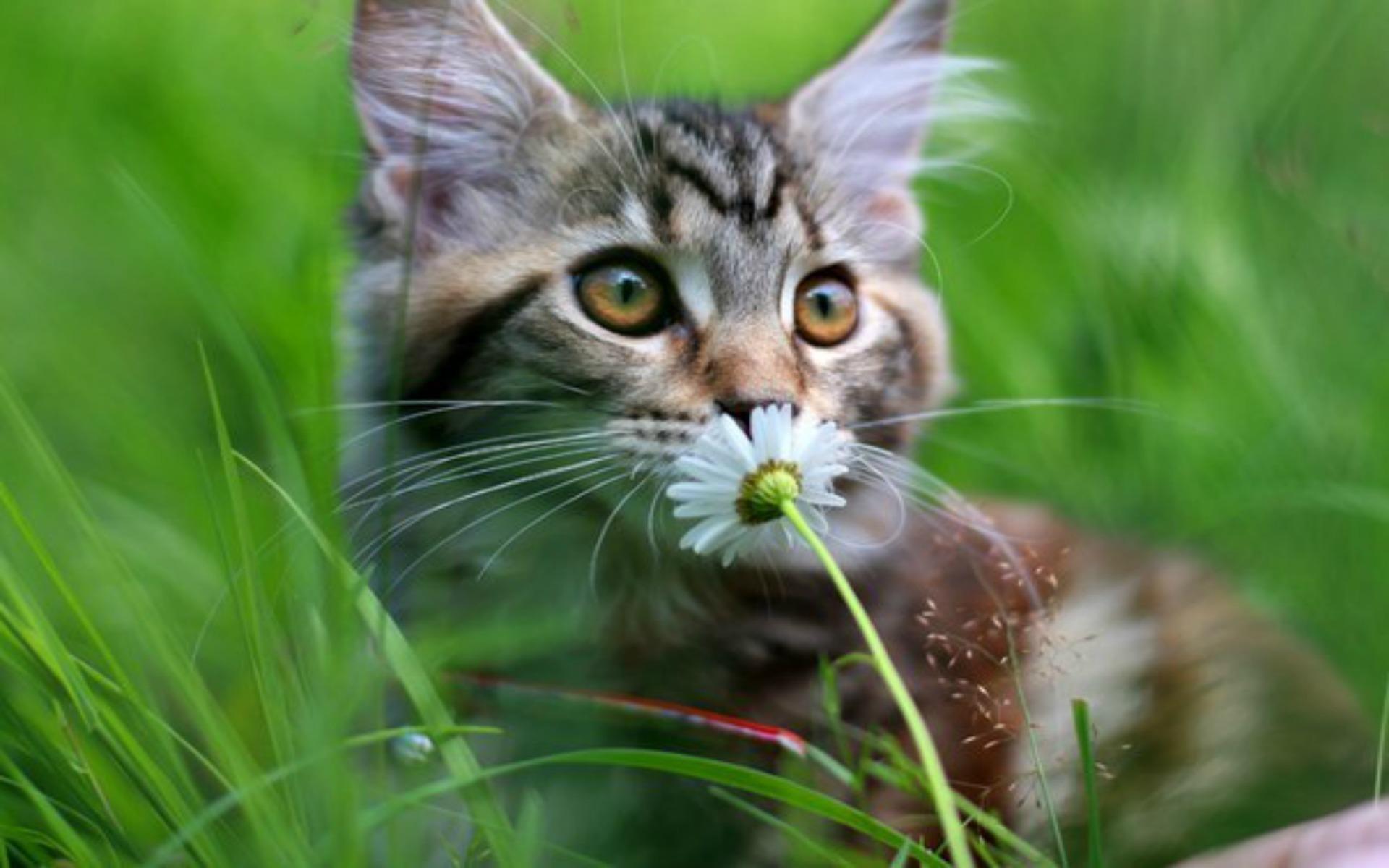 Обои кот, цветок, ромашка, поле