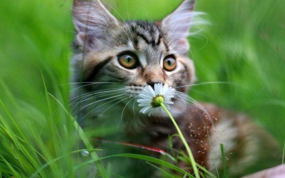 Заставки кот, цветок, ромашка