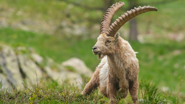 Фото бесплатно козел, горный, рога