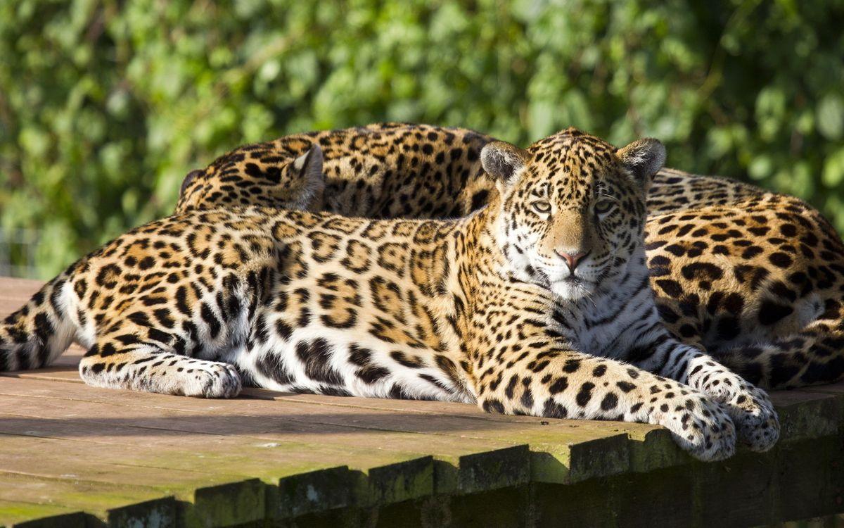 Фото бесплатно леопард, двое, заповедник - на рабочий стол