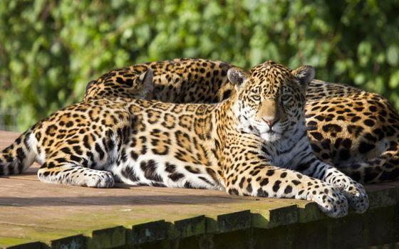 Фото бесплатно леопард, двое, заповедник