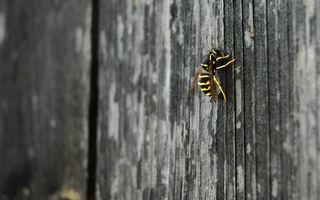 Бесплатные фото пчела,ползет,лапки,крылья,дерево,желтый,цвет