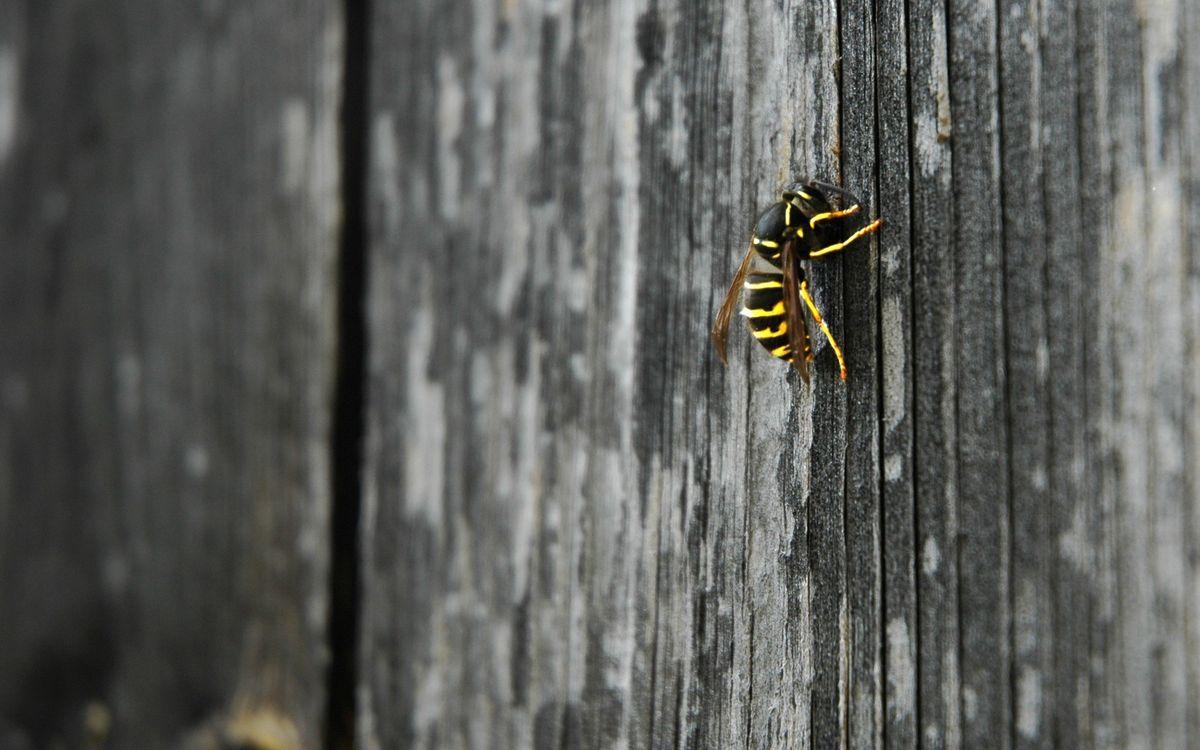Фото бесплатно пчела, ползет, лапки, крылья, дерево, желтый, цвет, черный, насекомые, текстуры, текстуры