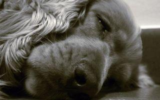 Обои пес, щенок, нос, голова, уши, глаза, язык, зубы, рот, лапы, хвост, сон