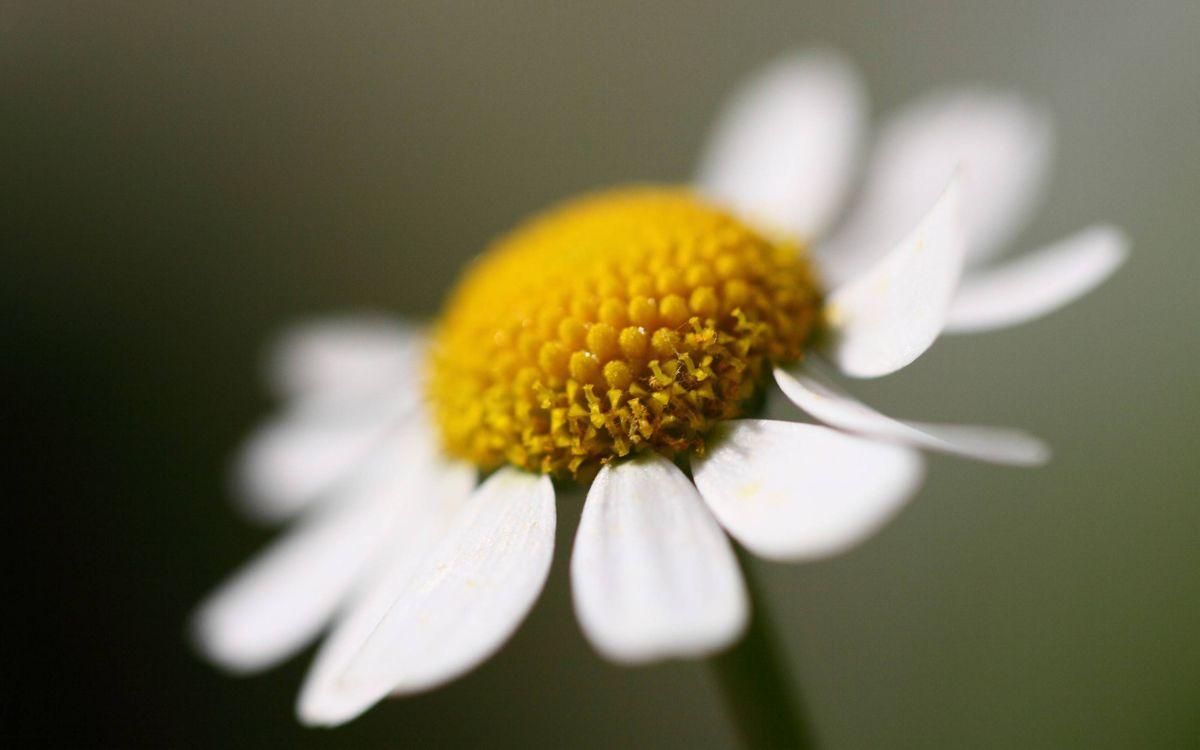 Фото бесплатно ромашка, лепестки, белые, пестики, тычинки, желтые, стебель, макро