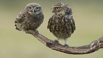 Фото бесплатно сова, ветка, глаза