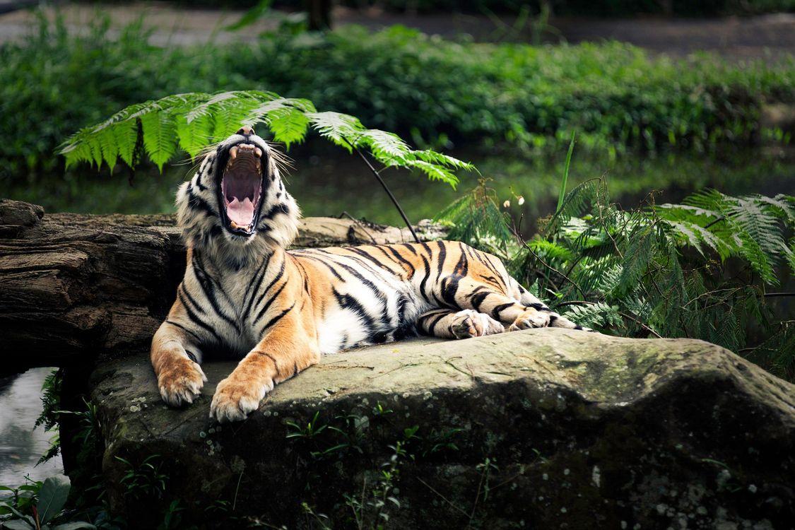 Фото бесплатно тигр, пасть, клыки, камень, папоротник, зоопарк, животные, кошки, кошки