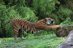 Бесплатные фото тигр,зверь,дикий,лес,трава,потягивается,полоски