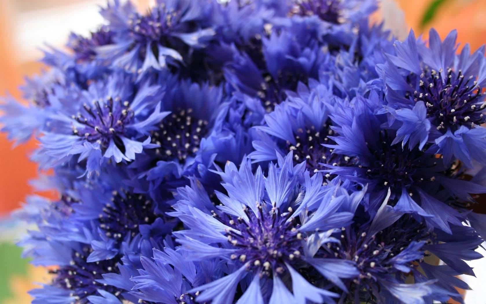 васильки, синие, лепестки
