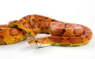 Фото бесплатно змея, белый, фон, пятнистая, желтая, черные, полоски, оранжевые, пятна, животные