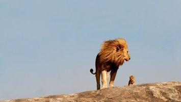 Бесплатные фото лев,левеня,дивиться,небо,африка,животные,кошки