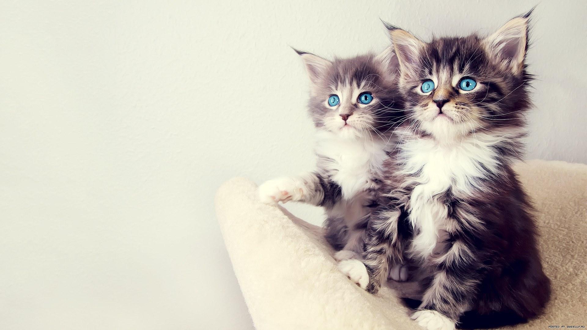 Обои кошенята, очі, сині, норвежські