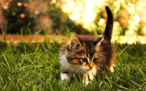 Photo free kitten, playing, on the grass