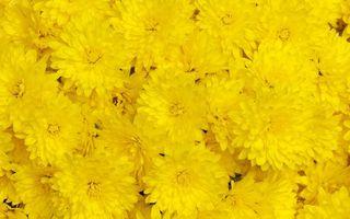Photo free yellow, chrysanthemum, petals