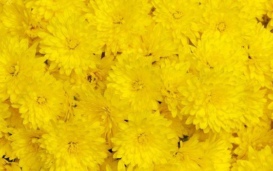 Фото бесплатно жёлтые, хризантемы, лепестки