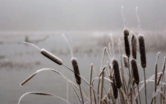 Фото бесплатно камыши, растения, иней